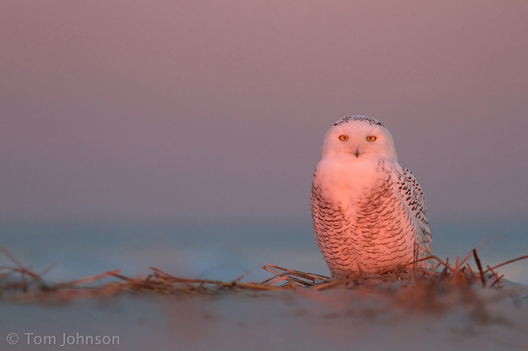 Snowy owl in twilight