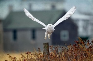Snowy owl flying from fence post.