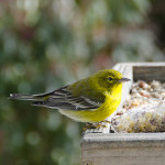 Lovely pine warbler captured in the eponymous Pinehills by Jim Smith.