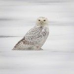 During the day, two snowy owls were spotted. This one was photographed by John Galluzo.
