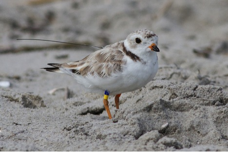 Radio-tagged piping plover