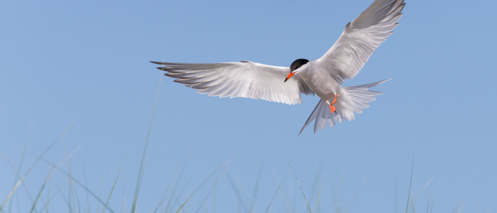 Common Tern flying at Plymouth Long Beach