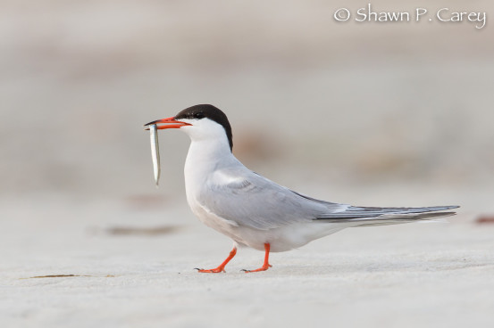 Common Tern with fish for its young. Photo by Shawn Carey.