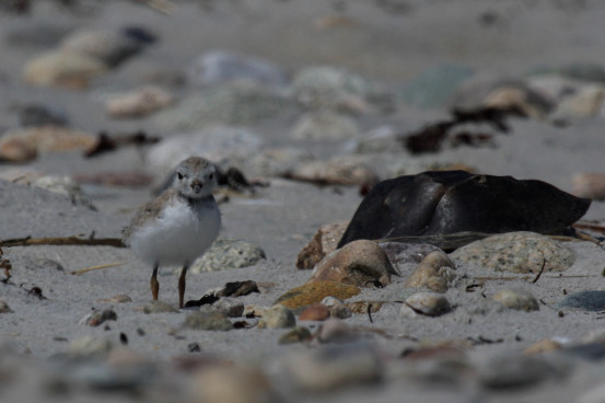 Piping Plover chick. Photo by Shiloh Schulte