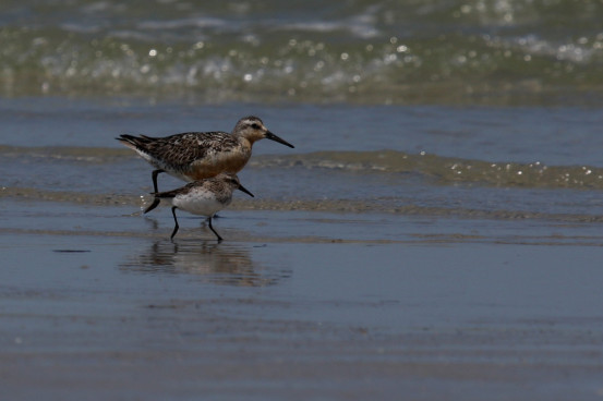 A Red Knot and a Semipalmated Sandpiper striding side by side offers a good chance to compare them. Photo by Shiloh Schulte