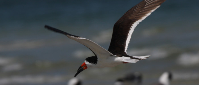 Shorebirds Experts Find Much to Enjoy at Plymouth Long Beach (and so can you!)