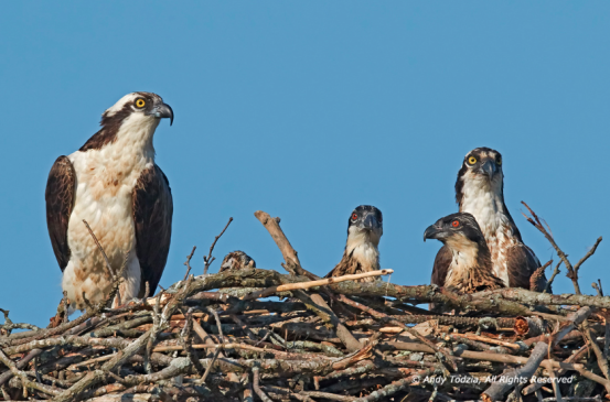 Osprey family relaxes together in their nest. Photo by Andy Todzia.