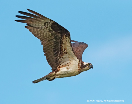 Adult osprey circling warily. Photo by Andy Todzia.