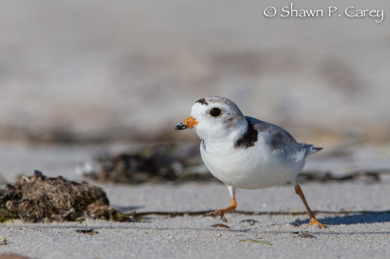 Adult Piping Plover scanning the wrack and sand for invertebrates to eat.