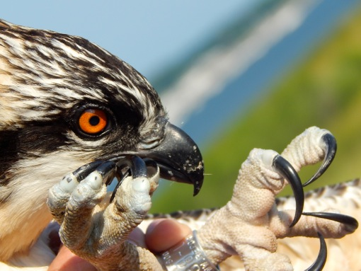 An Osprey chick with its new US Fish and Wildlife Service band. Photo by Samantha Gustin, age 11.