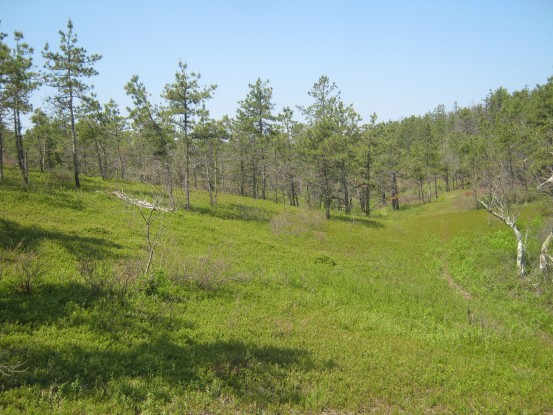 After a prescribed fire in Myles Standish State Forest, plants benefit from an influx of nutrients and light.