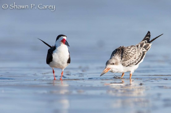 Black skimmers raised two chicks on Long Beach. On the left is an adult, on the right, a chick.