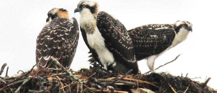 Plymouth Osprey on their nest. Photo credit: Gene Harriman