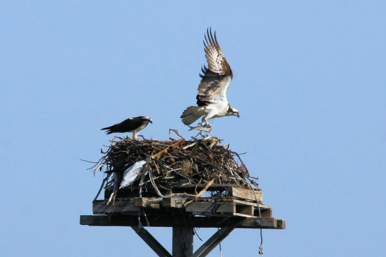 Osprey pair at Long Beach. Photo by Gene Harriman
