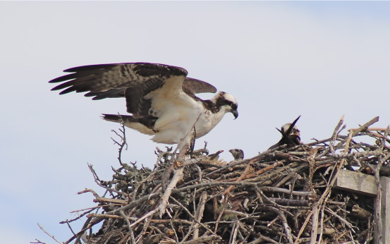 Osprey nest with chick and parent