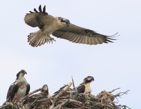Drama at the Osprey nest.