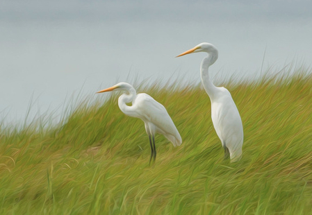 Great egrets in marsh by Edmund Prescottano