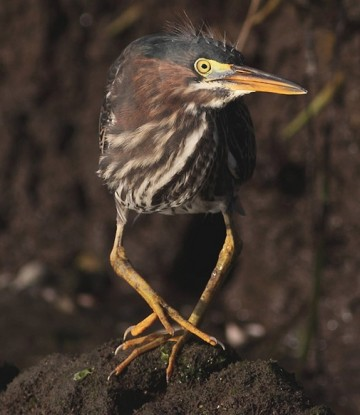 Green heron by Sean McMahon
