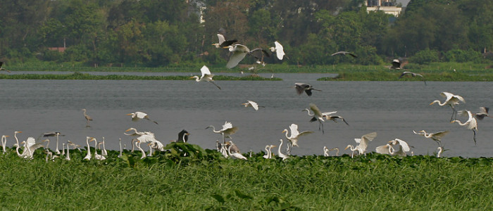 Grey_Herons_(Ardea_cinerea)_with_Great_Egrets_(Casmerodius_albus)-_Resting,_Taking_off_&_Landing_I_IMG_6112