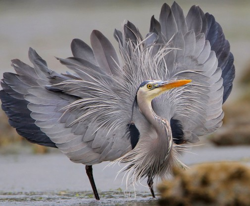 Great blue heron displaying its feathers. Photo credit: Wikipedia