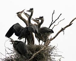 Great blue herons sharing nest. Photo credit: Wikipedia