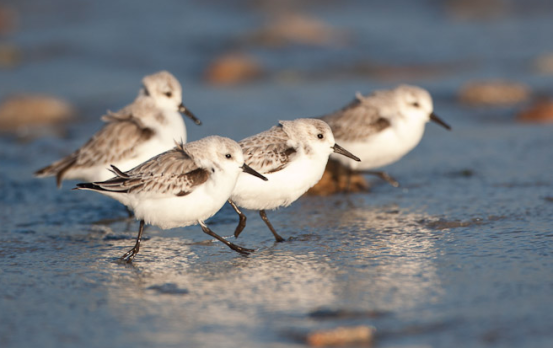 Sanderlings at the water's edge. Photo by Edmund Prescottano