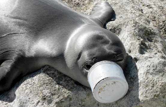 A seal has its snout caught in a plastic container. Photo credit: Ocean Conservancy