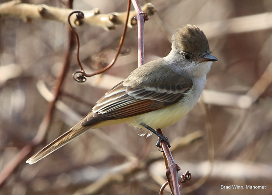 The Ash-throated Flycatcher. Photo credit: Brad Winn