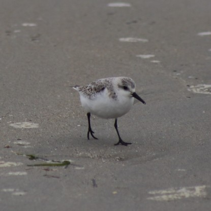 Several Sanderlings were mixed in with hundreds of Dunlin. Photo credit: Debbie Plume