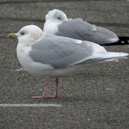 This adult Iceland Gull gave us a great view of its pink legs. Photo credit: Soheil Zendeh