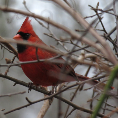 This lovely male Northern Cardinal was one of a surprisingly small number seen. Photo credit: Soheil Zendeh