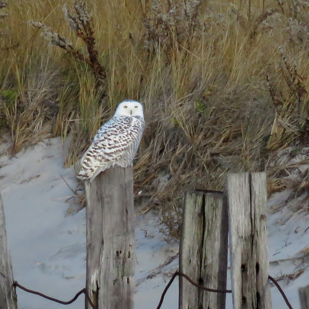 The unmistakable Snowy Owl. Photo credit: Soheil Zendeh