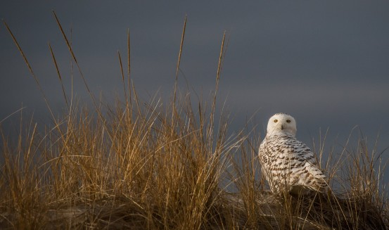 A Snowy Owl showed itself on the last day of 2015. Photo credit: Ian Davies