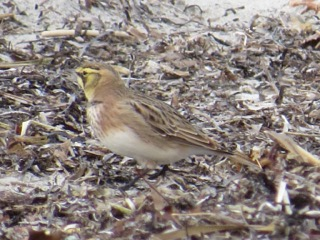 Often Horned Larks, like this one, will travel with flocks of Snow Buntings. Photo Credit: Lisa Meeks