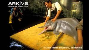 Bajii or Yangtze River Dolphin
