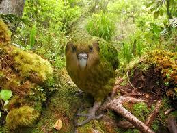 The kakapo, a flightless parrot. Photo credit: kidscissorhybrid.com
