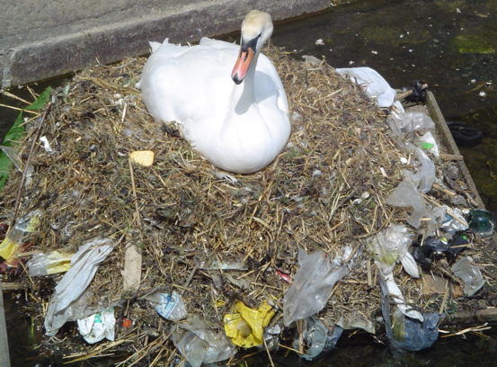 This swan nest is full of litter.