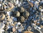 SH killdeer nest