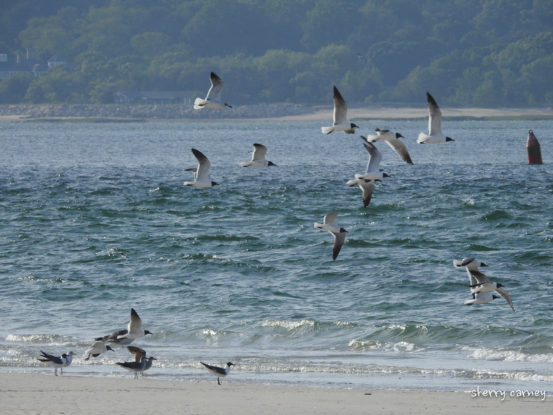 Laughing Gulls flying