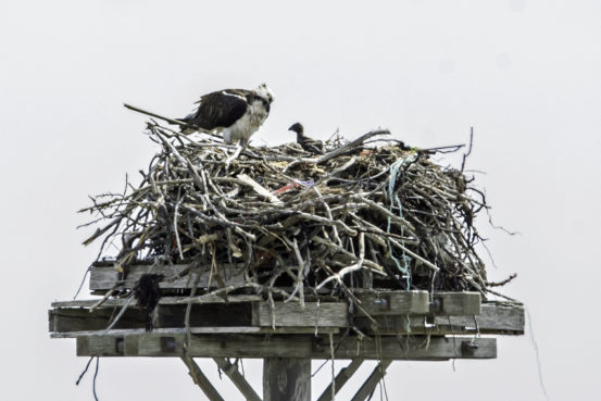 Osprey adult and chick