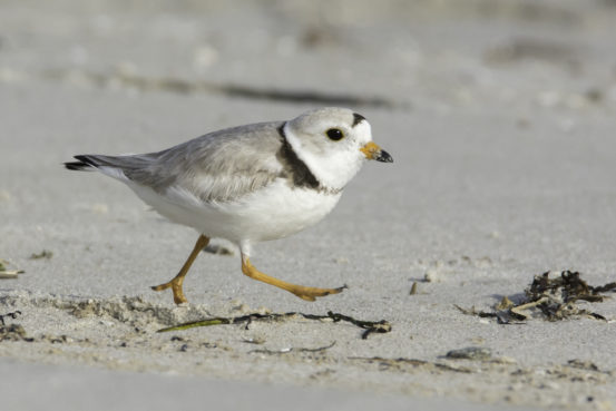 Piping Plover by Stan Deutsch