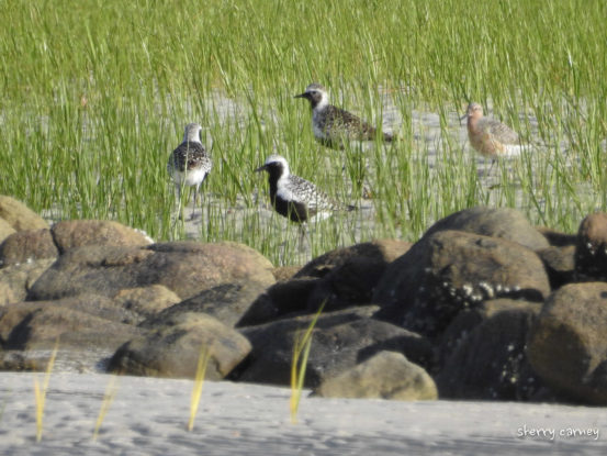 Red Knots and Black-bellied Plovers