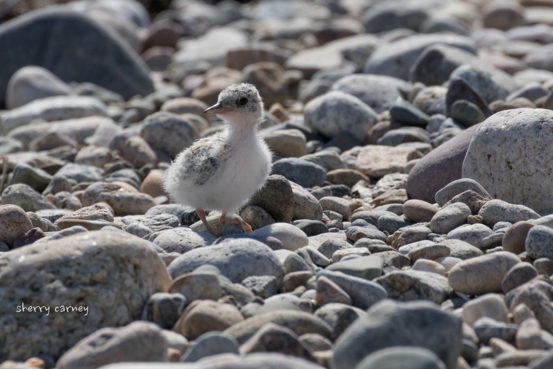 Fat baby Least Tern on the beach