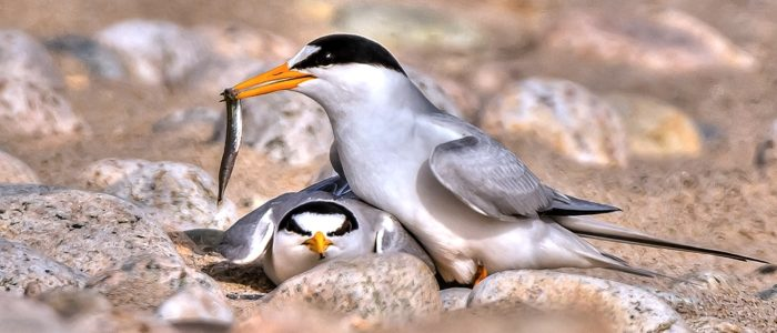 Least terns courting (one with fish)