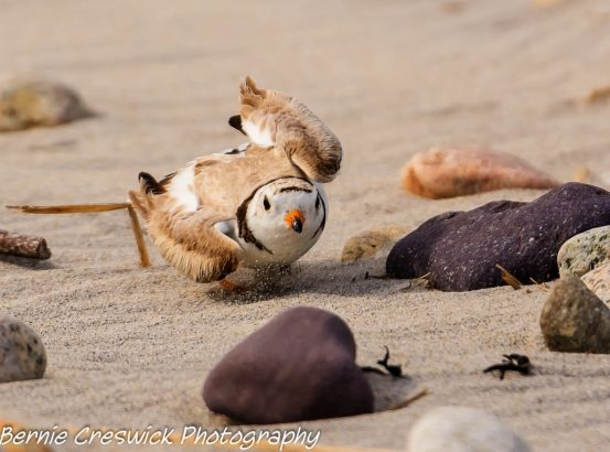 A Piping Plover does a broken-wing display to lure a potential predator from its nest. In this case, it was a bird monitor. Photo credit: Bernie Creswick
