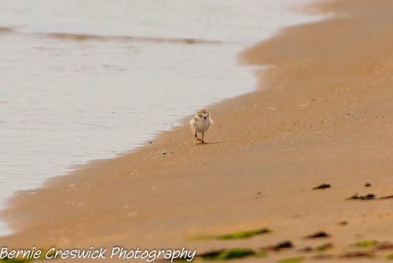 Small Piping Plover chick running along the beach