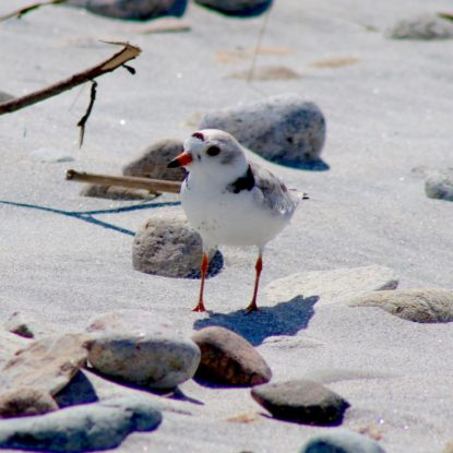 Piping Plover standing alertly on the beach