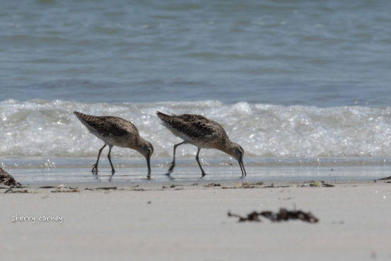 Two shorebirds feeding at ocean's edge