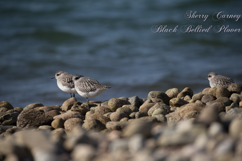 Black-bellied Plovers in their winter plumage lack the black belly.