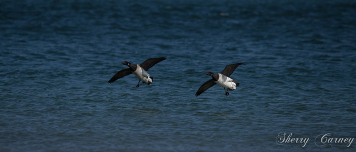 Two brant coming in for a landing